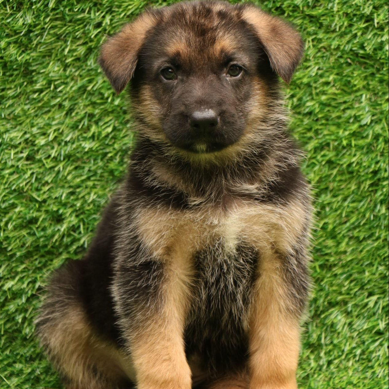 German Shepherd - Dav Pet Lovers