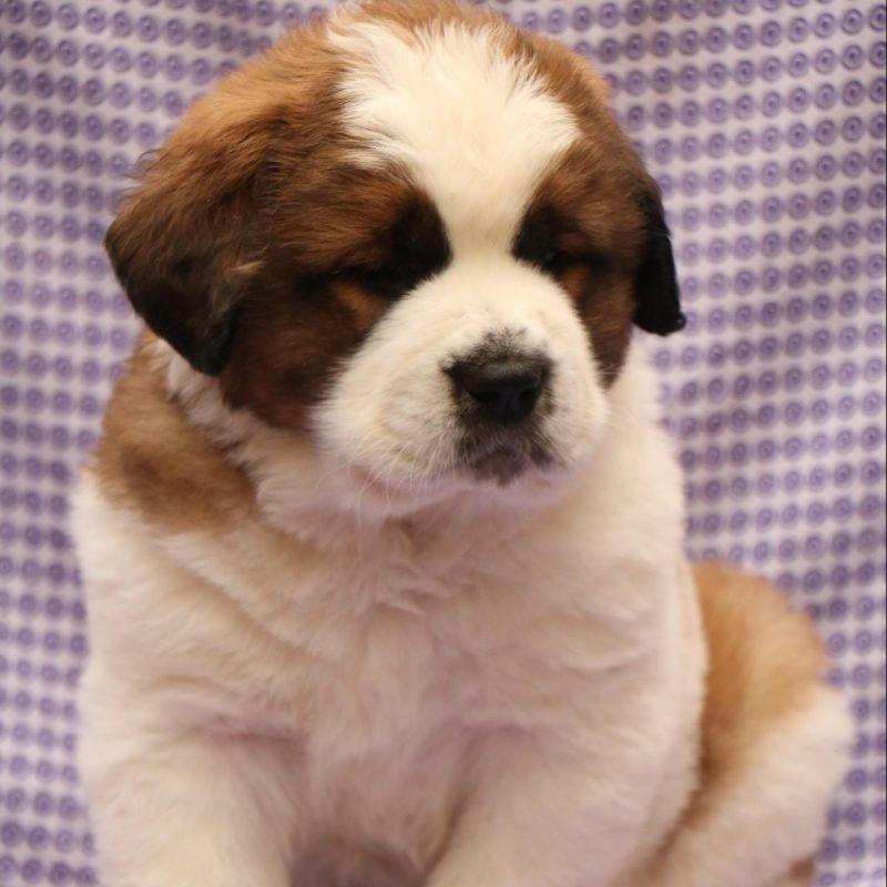 Saint Bernard Puppy - Dav Pet Lovers