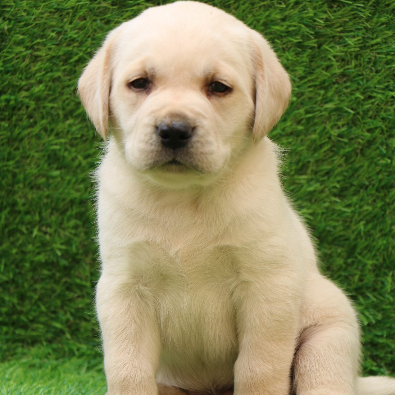 Labrador Retriever For Sale Puppy For Sale Near Me Dav Pet Lovers