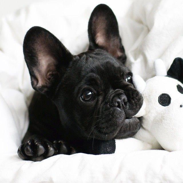 French Bull Dog - Dav Pet Lovers