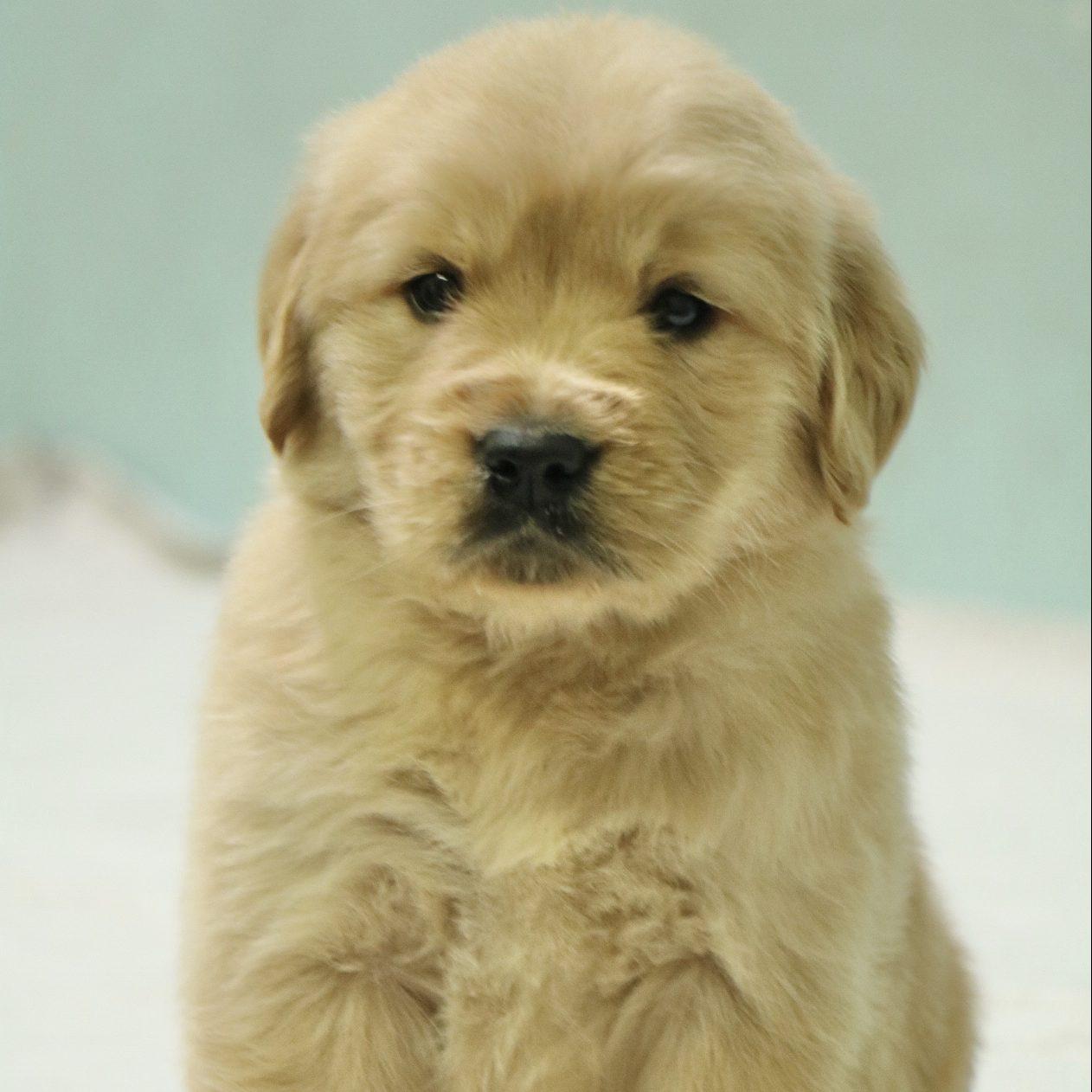 Golden Retriver Puppies - Dav Pet Lovers