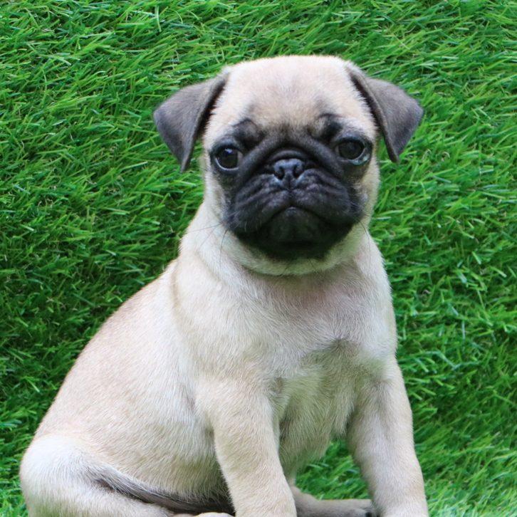Pug Puppy in Delhi Ncr - Dev Pet Lovers