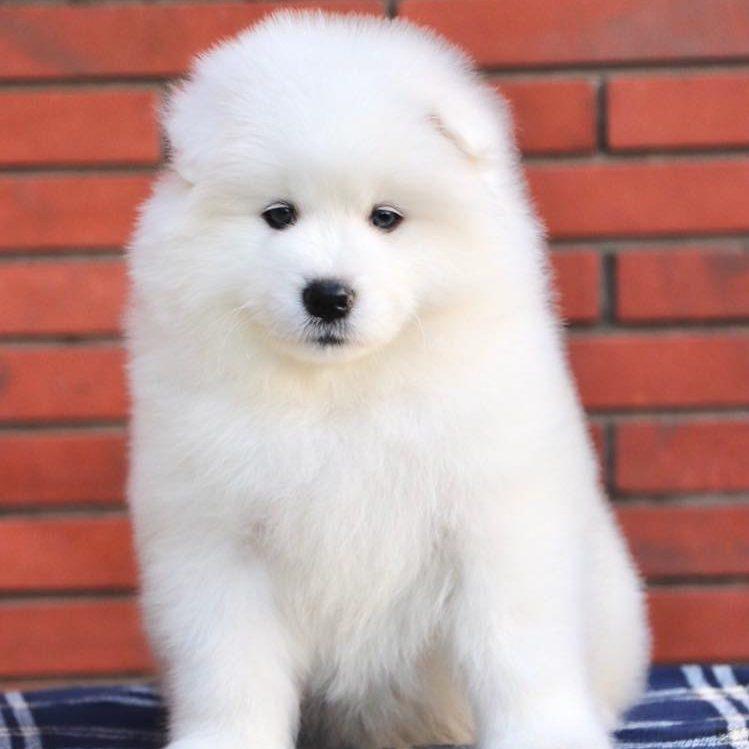 Samoyed Puppy - Dav Pet Lovers