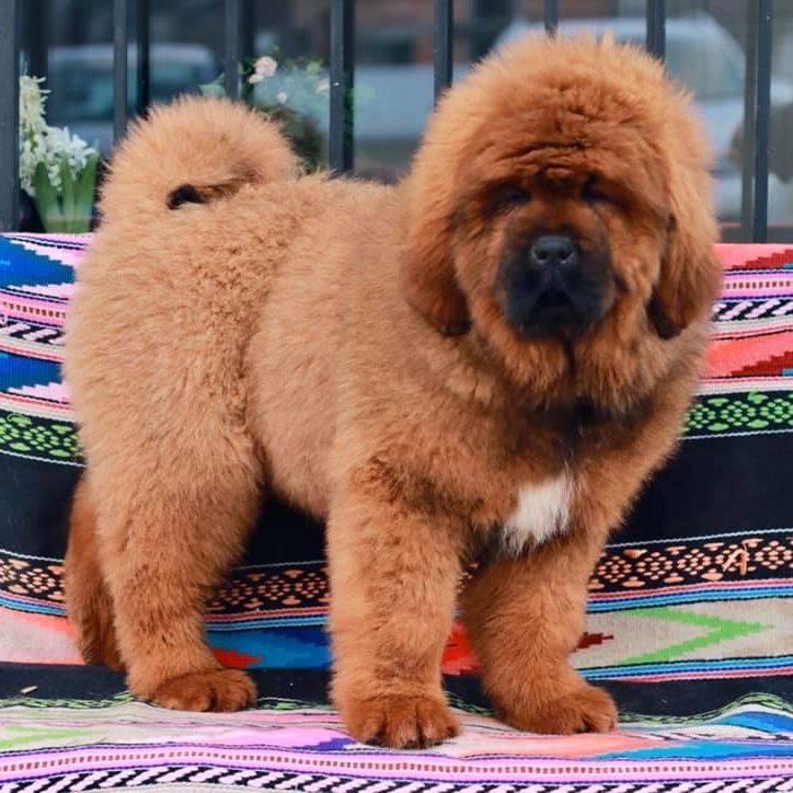 Tibetan Mastiff for Sale - Dav Pet Lovers