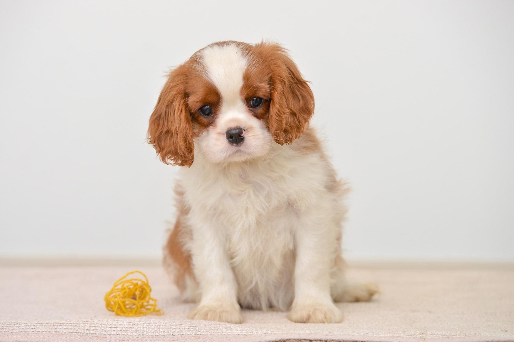 Cavalier King Charles Spaniel For Sale Near Me Dav Pet Lovers