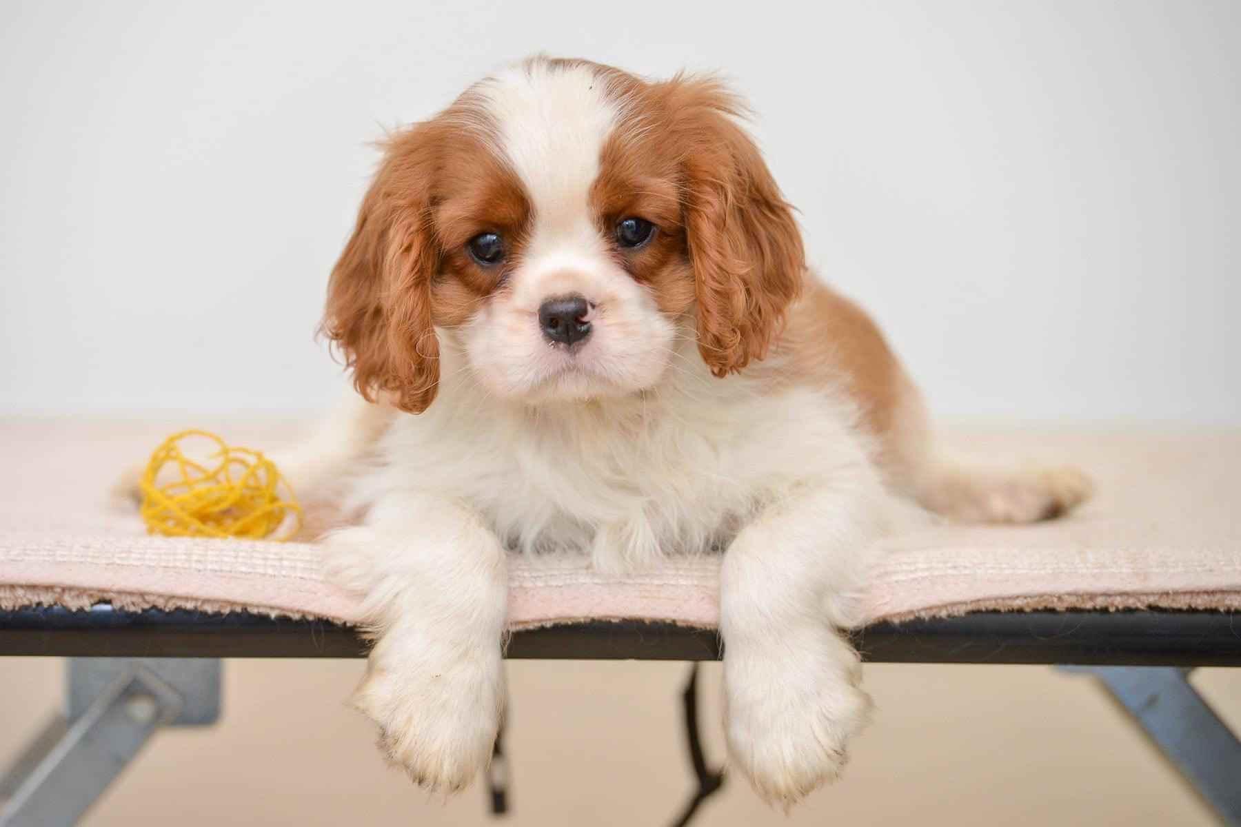 Cavalier King Charles Spaniel Puppy For Sale In Delhi Ncr Dav Pet Lovers