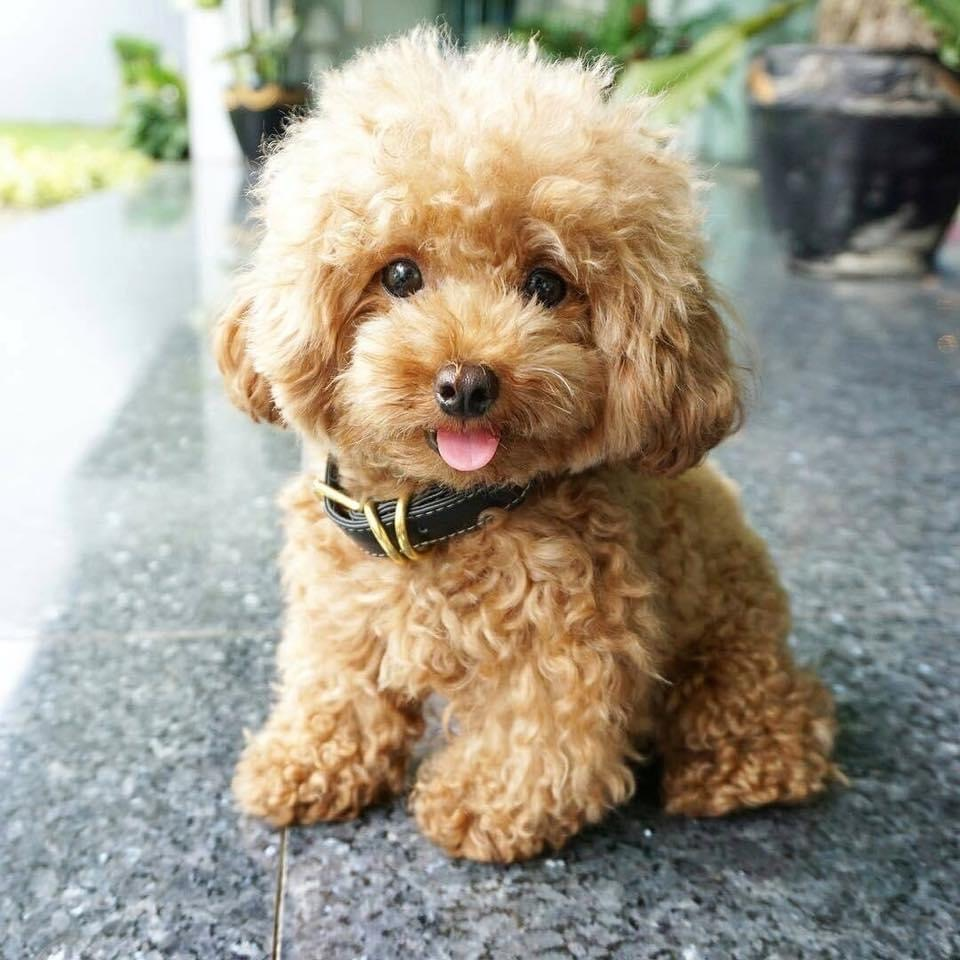 Poodle Puppy For 100 Pure Breed