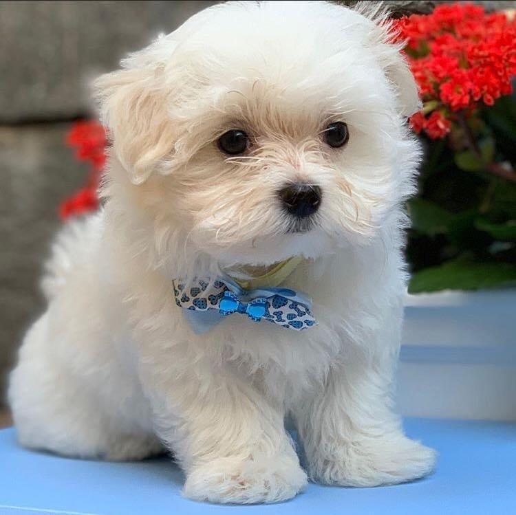 Maltese Puppy - Dav Pet Lovers