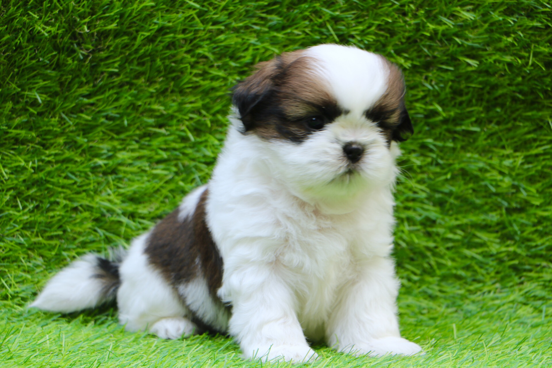 Shih Tzu For Sale Shih Tzu Puppy For Sale Near Me At Best Price Dav Pet Lovers