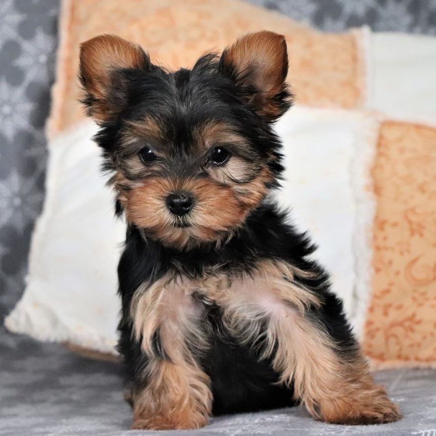 Yorkshire Terrier - Dav Pet Lovers