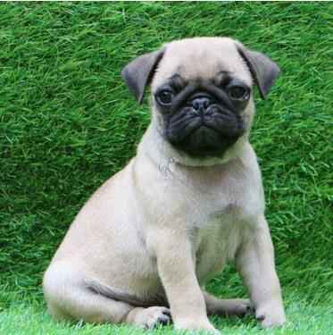 Tips For Buying A Pug For Sale Dav Pet Lovers